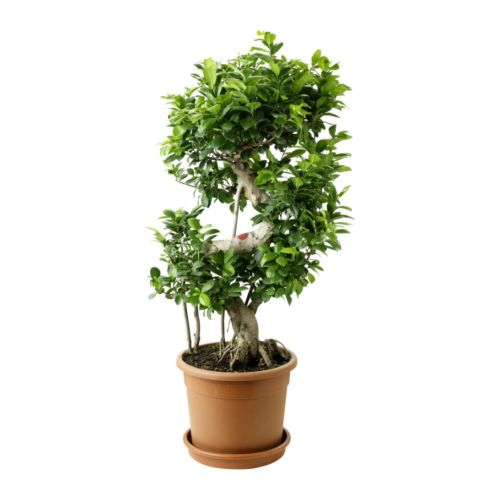 ficus mestre bonsai. Black Bedroom Furniture Sets. Home Design Ideas