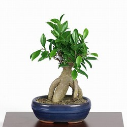 Ficus Mestre Bonsai