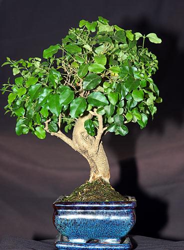 ficus bonsai tree care instructions