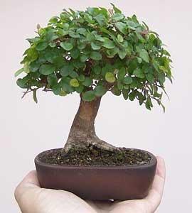 Sageretia theezans mestre bonsai - Como cuidar un bonsai ...