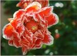 Punica granatum: flor