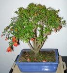 Bonsai P.g.'nana'