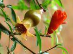 Punica granatum 'nana': flor e início do fruto