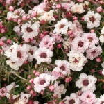 leptospermum-scoparium-apple-blossom