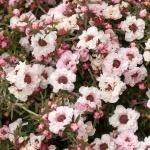leptospermum-scoparium-apple-blossom