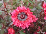 leptospermum_scoparium_wiri_kelly
