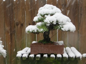 Esta imagem pertence ao site: Nebari Bonsai https://nebaribonsai.wordpress.com/2013/01/26/freak-snow/